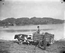 """Bildtext till kopian i fotoalbumet:  """"Oxe 1933. Lindholme"""