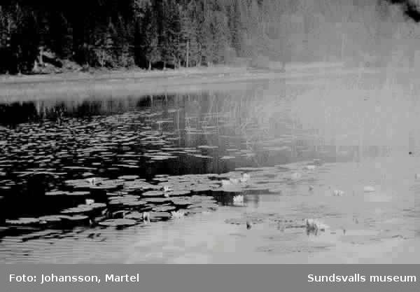 Näckrosor på sjön Vikarn.