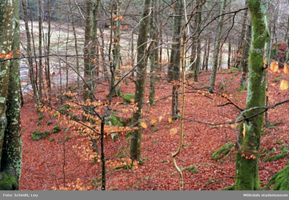Flertalet höga träd med höströda löv som ligger på marken. I området finns ridvägar. Närhet av Gunnebo slott.