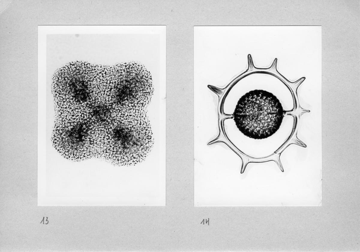 'Närbilder, till basutställningen, Protozoa. ::  :: Bild 13-14.'