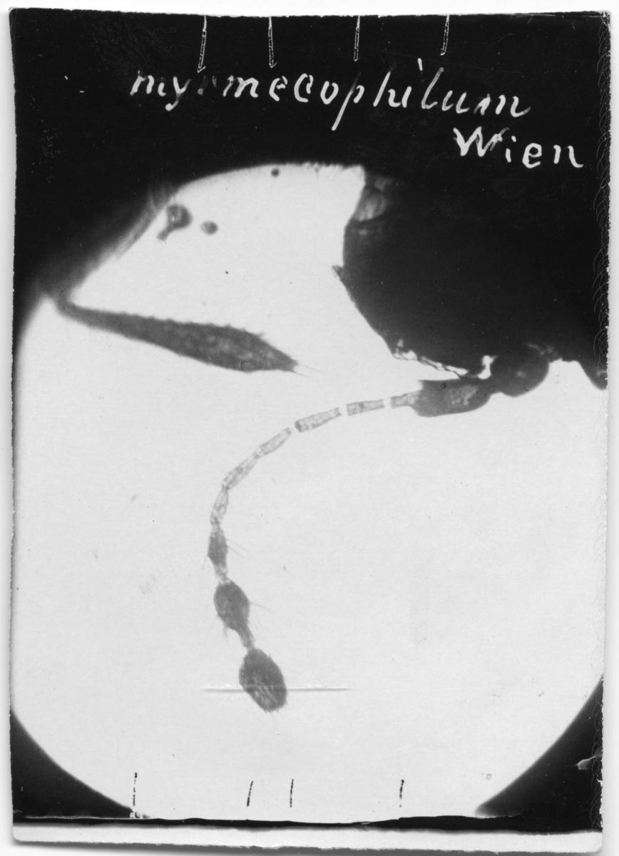 'På fotot står: ''myonecophilum, Wien.'' ::  :: Bilden inskannad och sedan spegelvänd för att texten ska synas.'