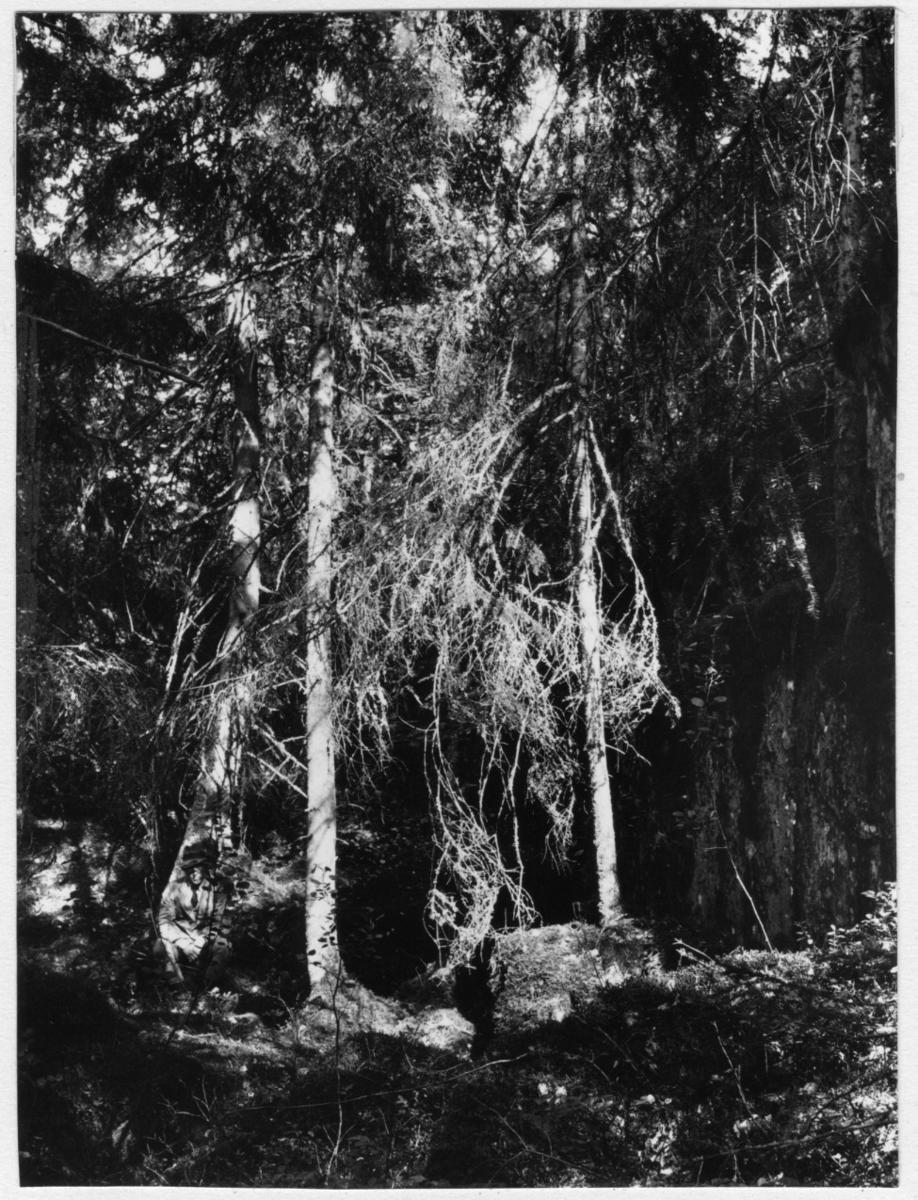 '1 man sittande intill trädstam, granvegetation. ::  :: Fotonr. 7048:27-37 indelad under rubriken ''Naturstudier''. Ingår i serie med fotonr. 7046:1-383, 7047:1-33 och 7048:1-67 med bilder från  Länsjägmästare John Lindners bildarkiv.'