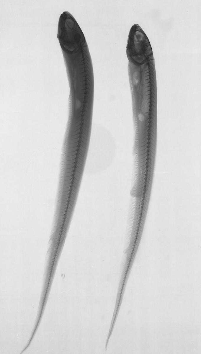 Röntgenbild på fisk