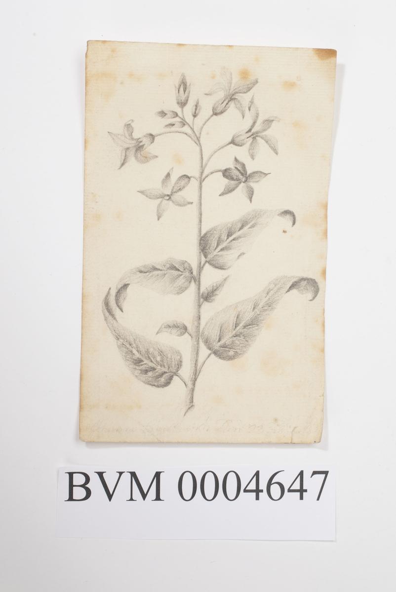 Blyanttegning av plante med blomster.