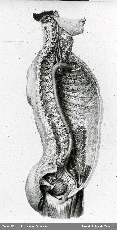 Anatomisk snitttegning av overkroppen, sett fra siden, delt langs ryggsøylen (umontert glass-dias)