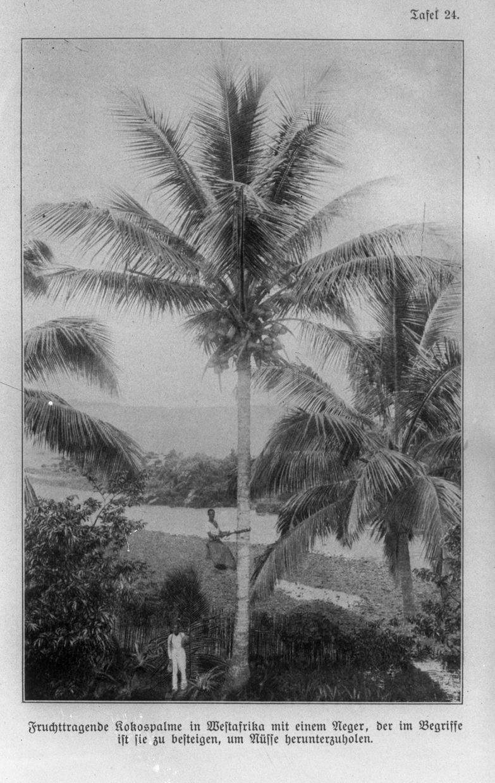 Kokospalme, innhøsting i Afrika