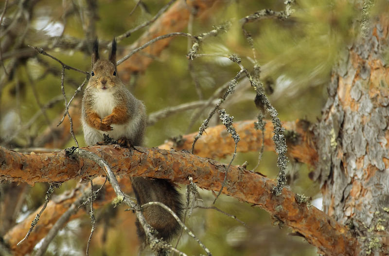 Ekorn i furu. Foto/Photo