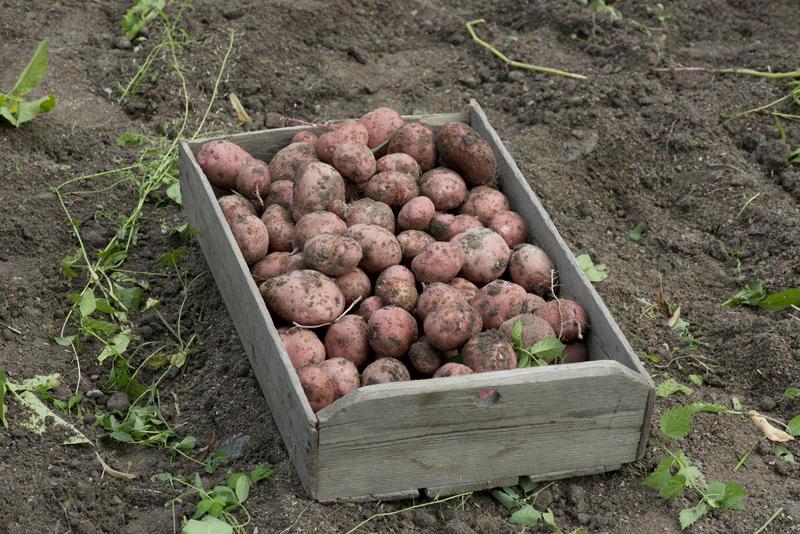 Kasse med nypoteter i potetåker (Foto/Photo)