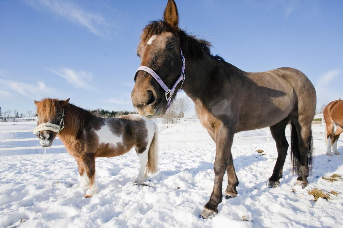 To hester i snøen