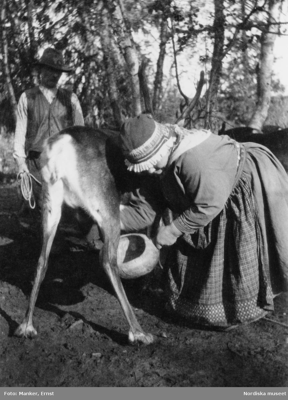 Marja Prost (född Sevä, dotter till Per Sevä), hustru till Vilhelm Prost, mjölkar en ren och ystar renost.