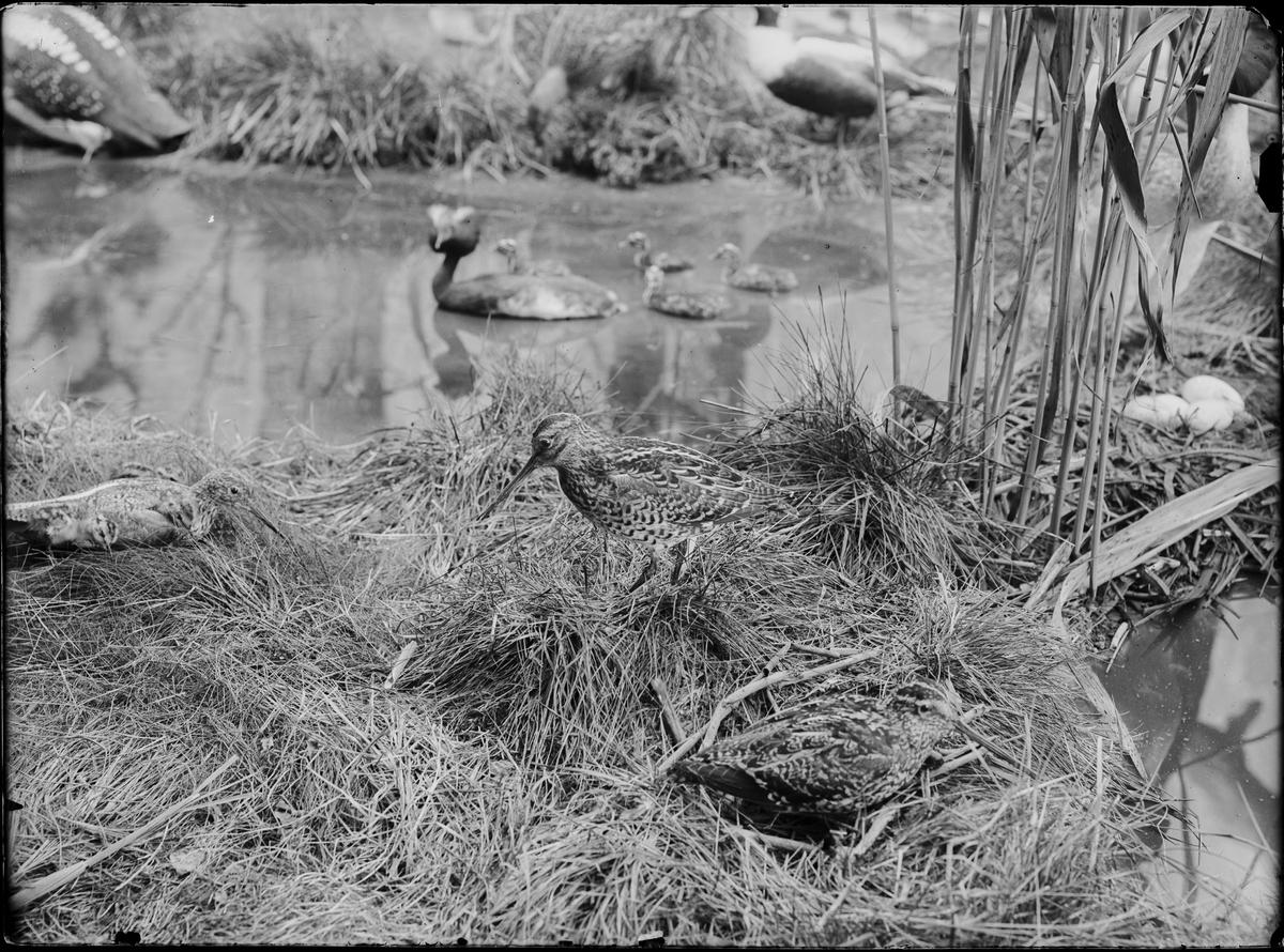 Diorama från Biologiska museets utställning om nordiskt djurliv i havs-, bergs- och skogsmiljö. Fotografi från omkring år 1900. Biologiska museets utställning Vadarfågel Snäppa Dubbelbeckasin Gallinago Media (John Latham)
