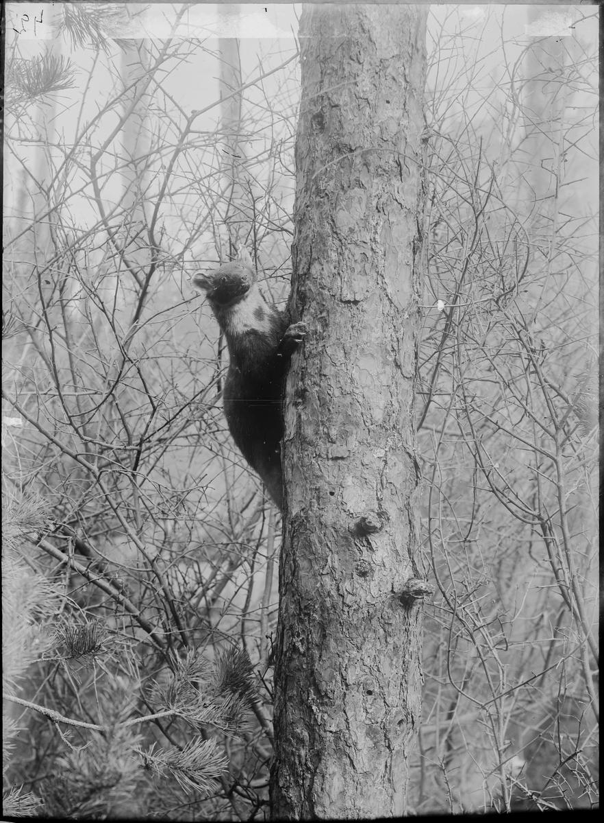 Diorama från Biologiska museets utställning om nordiskt djurliv i havs-, bergs- och skogsmiljö. Fotografi från omkring år 1900. Biologiska museets utställning Skogsmård Trädmård Martes Martes (Linnaeus)