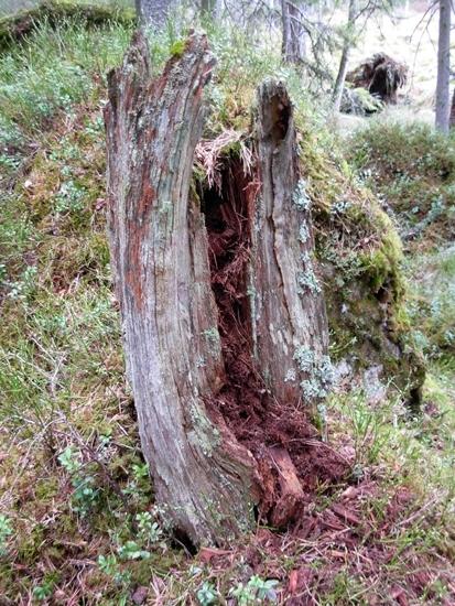 Tjärtall Foto av tjärtall, rest av tjärttall i form av en stubbe,Raä 520 c, 2010-05-04