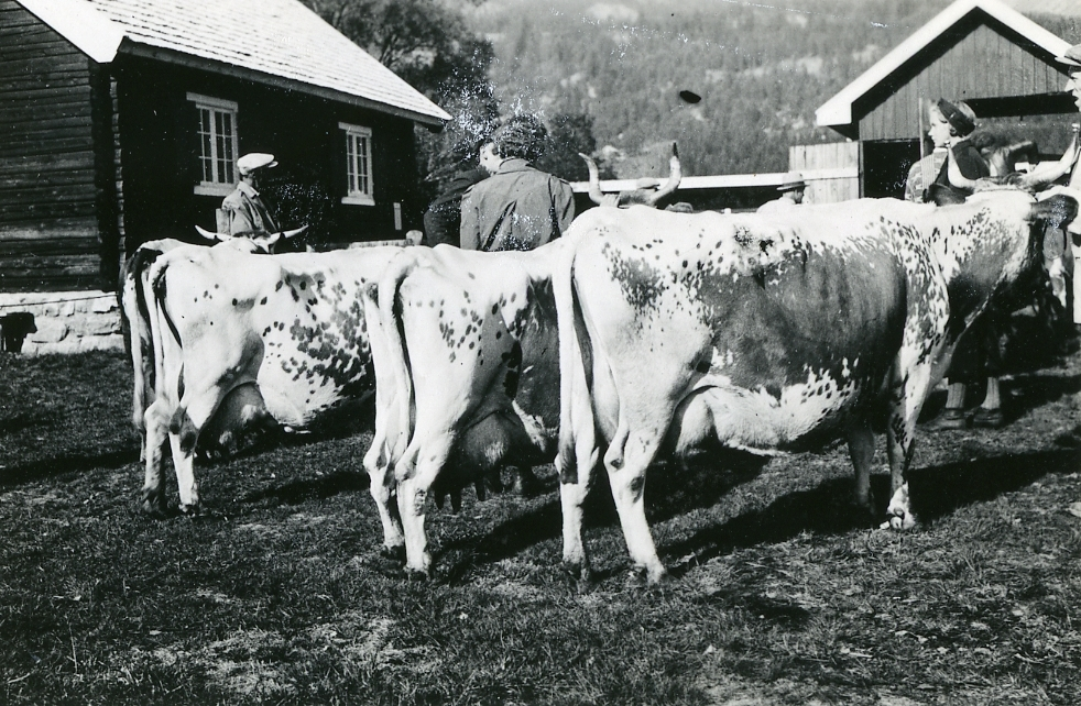 Nils G. Haugen sine telemarksfe ventar på å entre husdyrvekta.