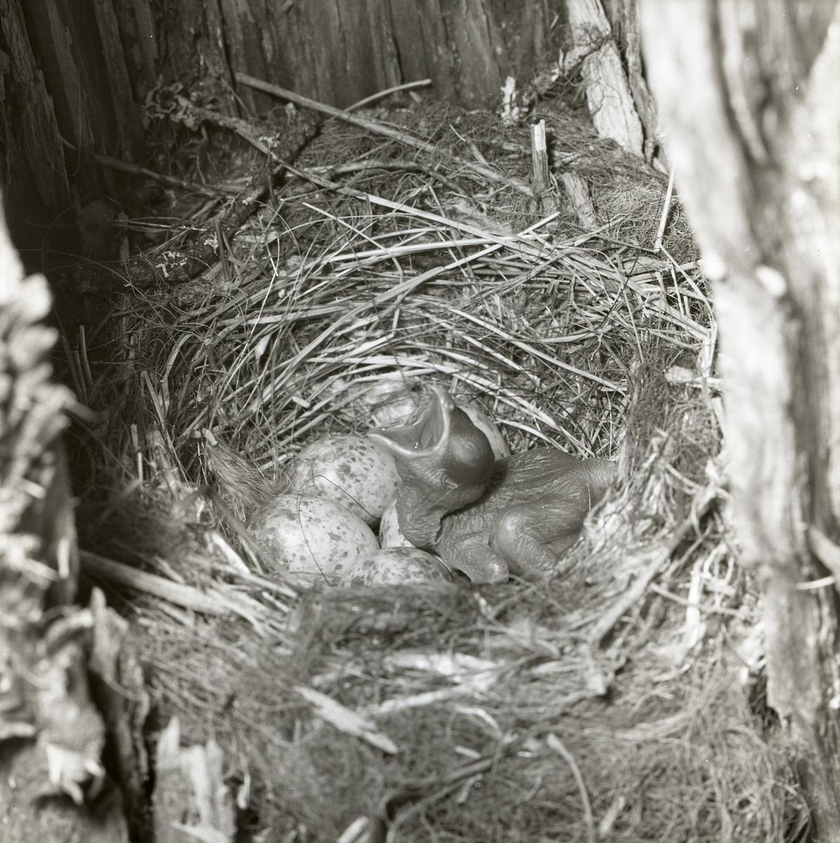 Den nakna gökungen är nykläckt vid fototillfället 25 juni 1961. Den ligger i fågelboet intill de övriga äggen och ropar efter mat. Ögonen har ännu inte öppnat sig, kroppen har inte fått några fjädrar och näbben är vidöppen.