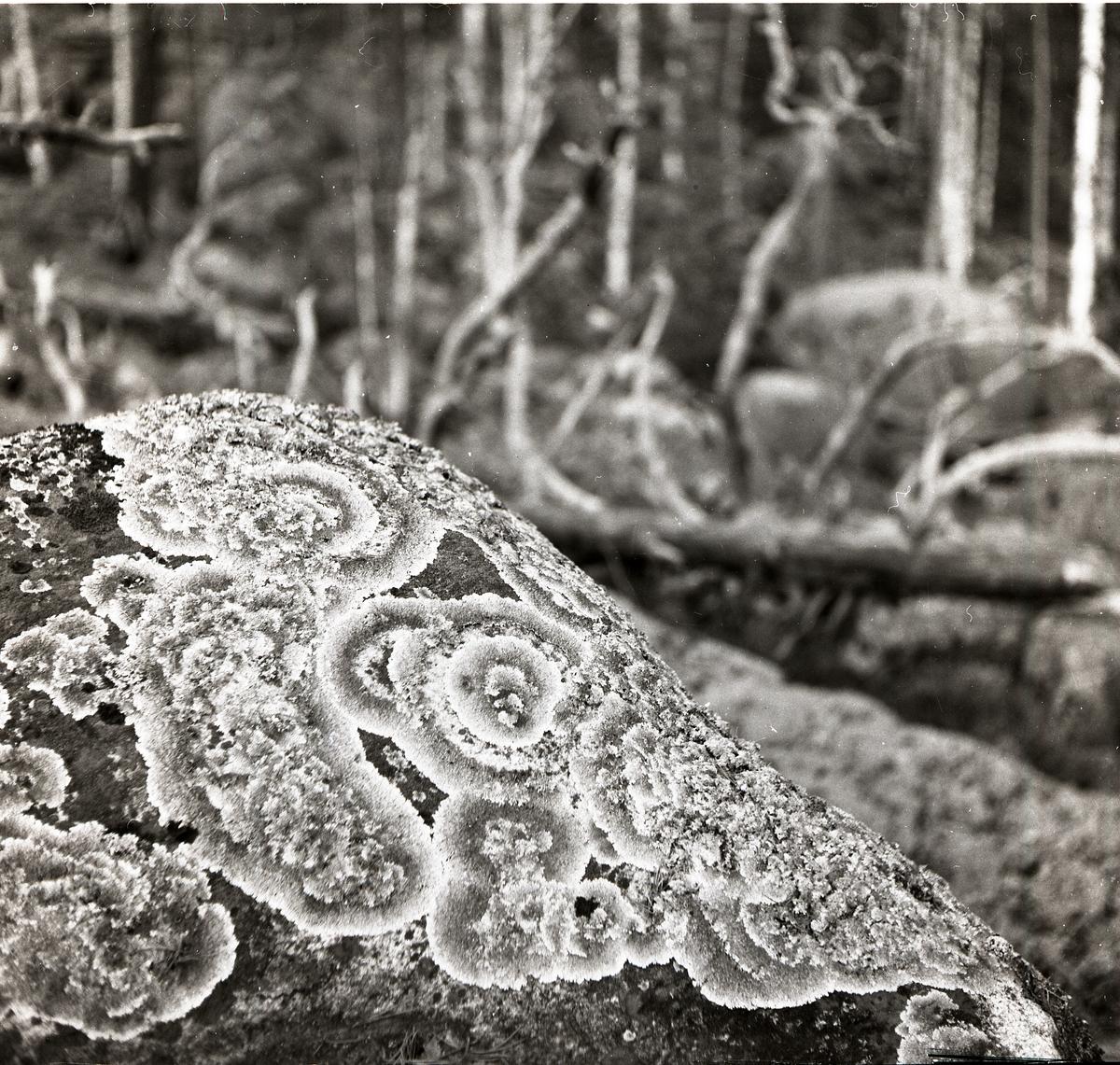 Lavarnas cirkulära mönster är närmast ett naturligt konstverk där de växer på stenen. Det nedfallna döda trädet i bakgrunden ger en kuslig folksägen känsla till bilden. Sten med mossa.