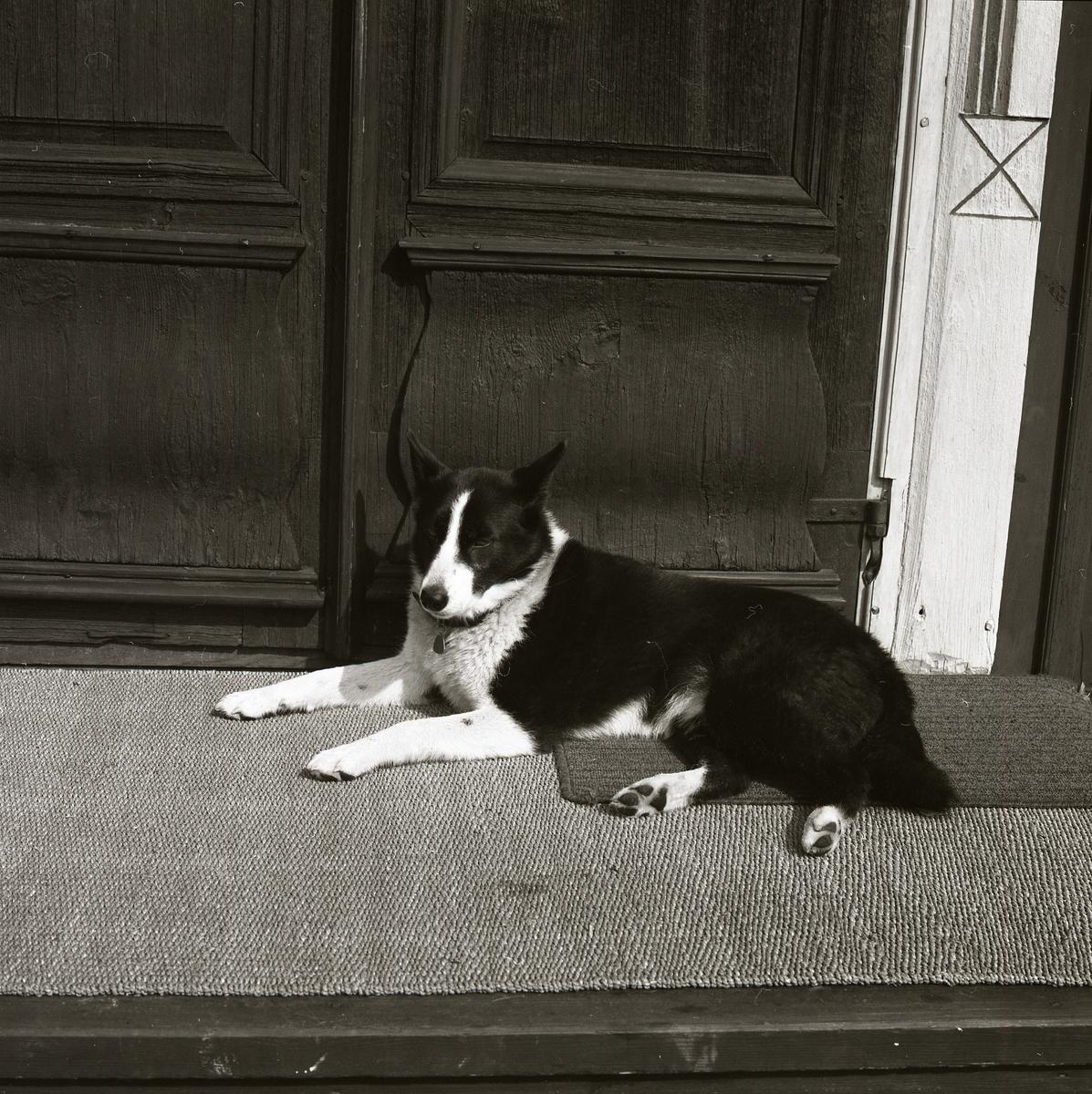 Hunden ligger på trappens matta och vilar sig. Solen värmer dess vita och svarta päls. Runt halsen bär hunden ett halsband med namnbricka som dinglar under nosen. Bakom trappen skymtar delar av en dörr i allmogestil fram och avslöjar bildens ursprung.