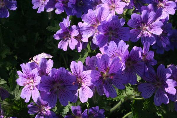 Storkenebb/Geranium ibericum. Foto/Photo