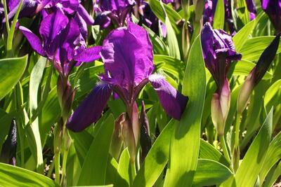 Kjerringiris/Iris aphylla