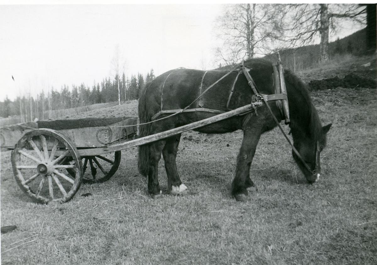 Hest med ei møkkjerre.