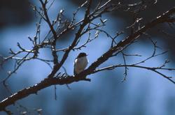 Liten fugl på ei grein.