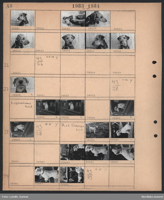 Motiv: (ingen anteckning) ; En hund sitter vid en trävägg.  Motiv: (ingen anteckning) ; En hund sitter vid en trävägg.  Motiv: Lagerströms hund; En hund sitter i en bil och tittar ut.  Motiv: Red. Ekbergs hund; En man och en hund i en trädgård.