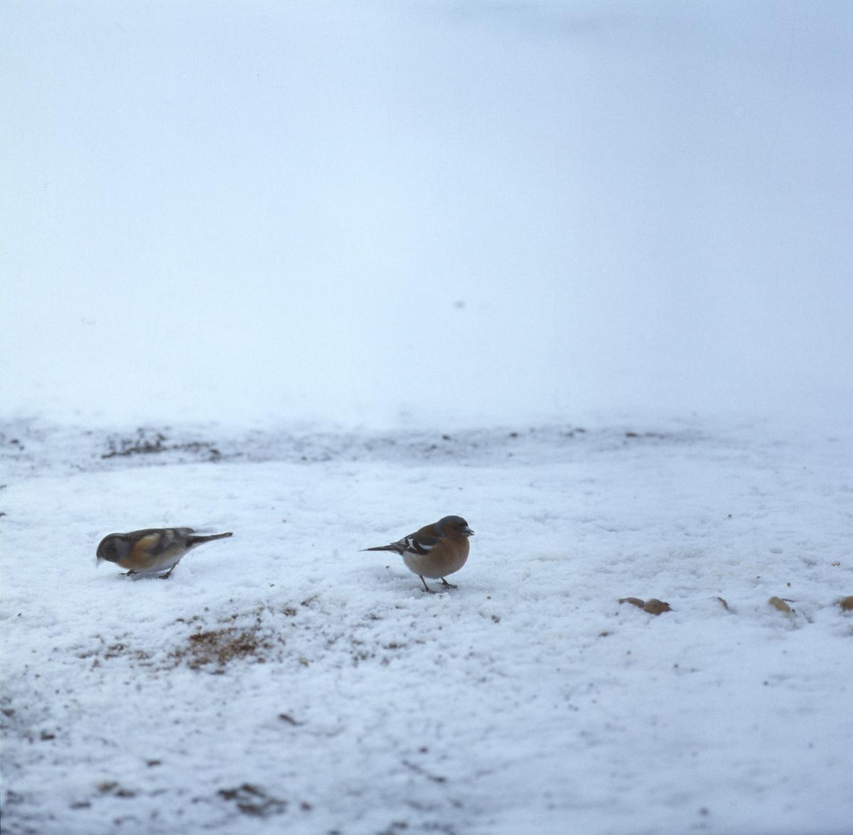 Bofinkar på snöig mark.