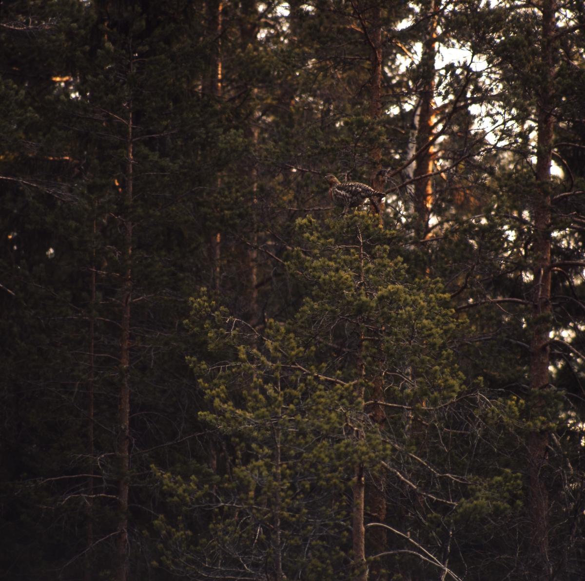 En tjäderhöna sitter uppe i en talltopp i skogen.