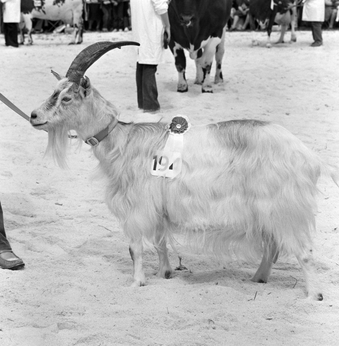 Norske Melkeprodusenters Landsforbund, NML 100 år 1881-1981. Jubileumsutstilling,visningsring, kavalkade over norsk husdyrhold, geitbukk, Domkirkeodden, Hamar.