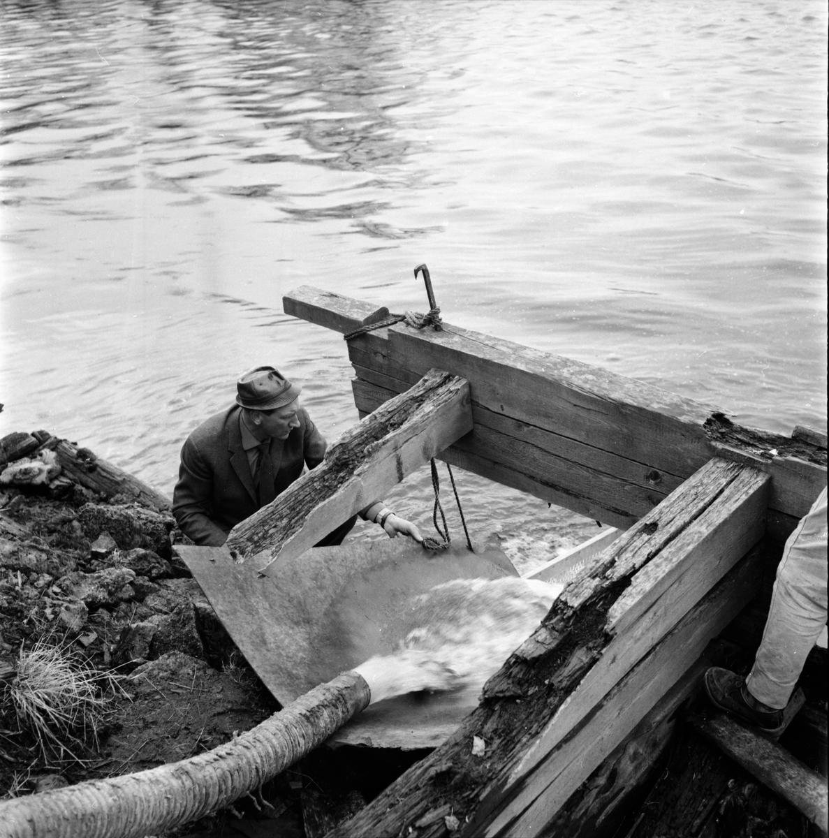 Laxyngelutsläpp i Ljusne. 24/4-1962