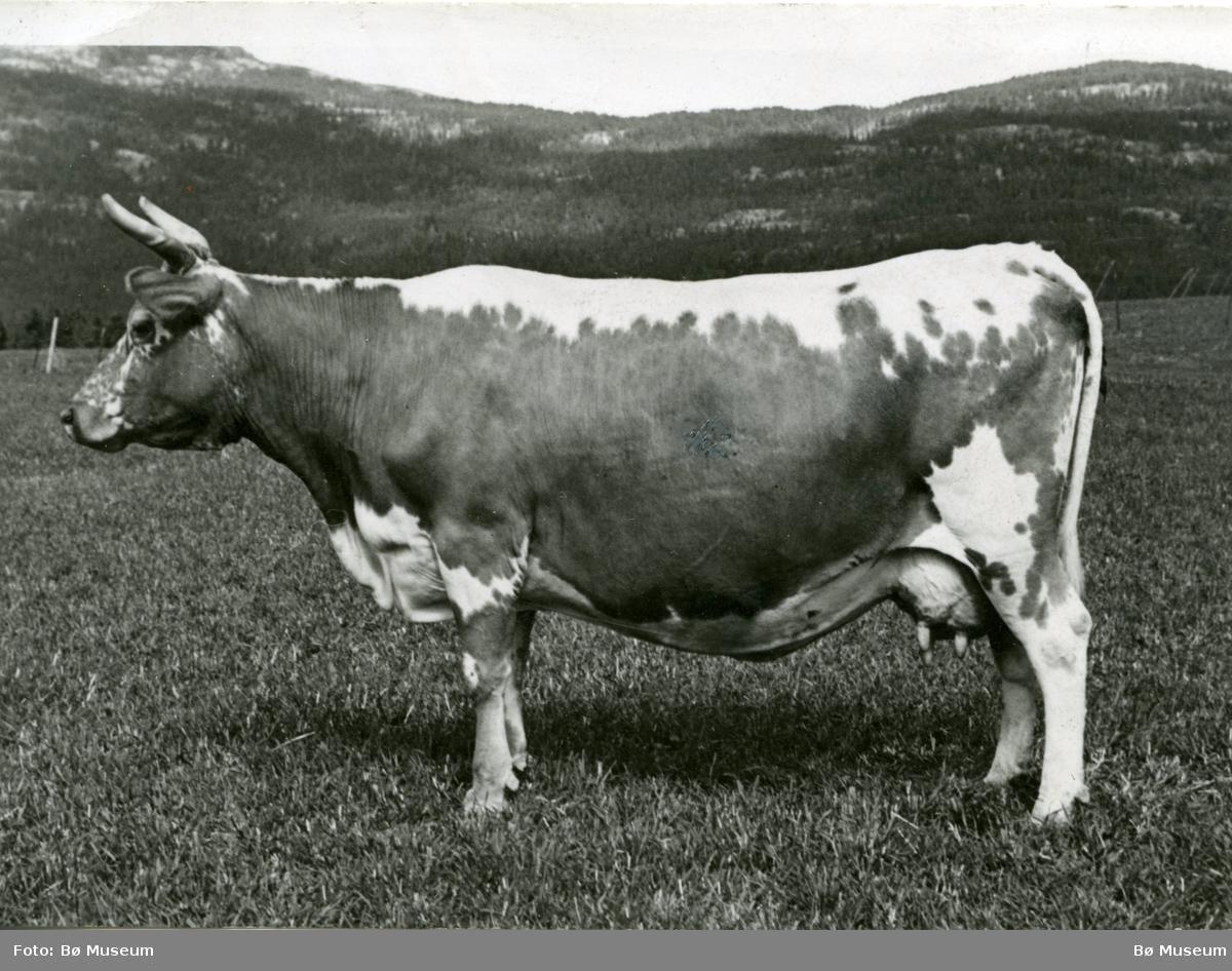 Kua Gullsi, eigar Tor Midtbø, fotografert ute på eit jorde.
