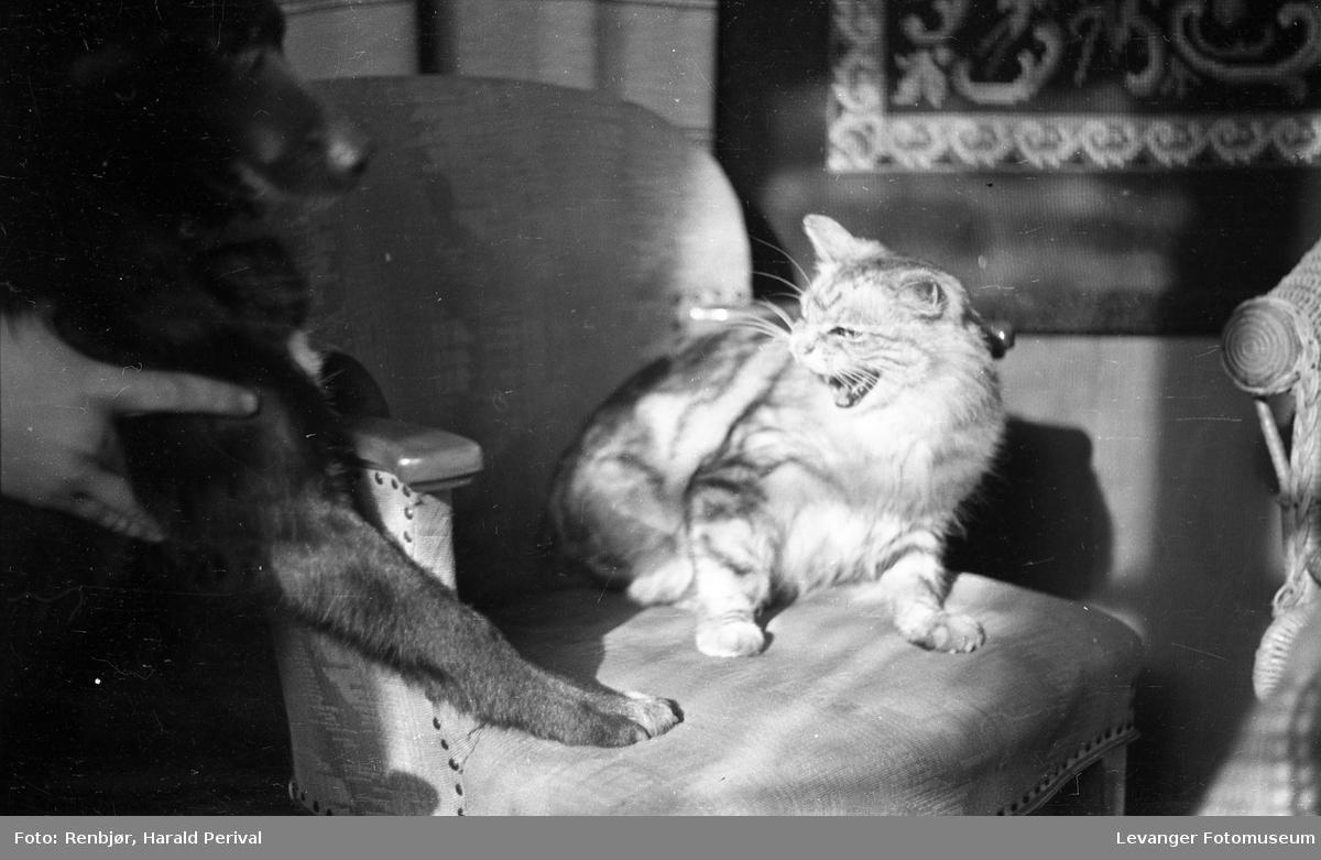 Portrett av katten Moritz, sint.