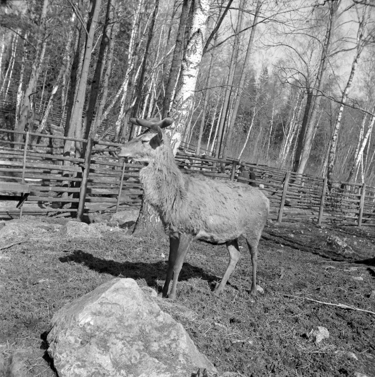 Furuviksparken invigdes 1936  1950 var ett år då Furuviksparken investerade kraftigt. Massor av djur köptes in.