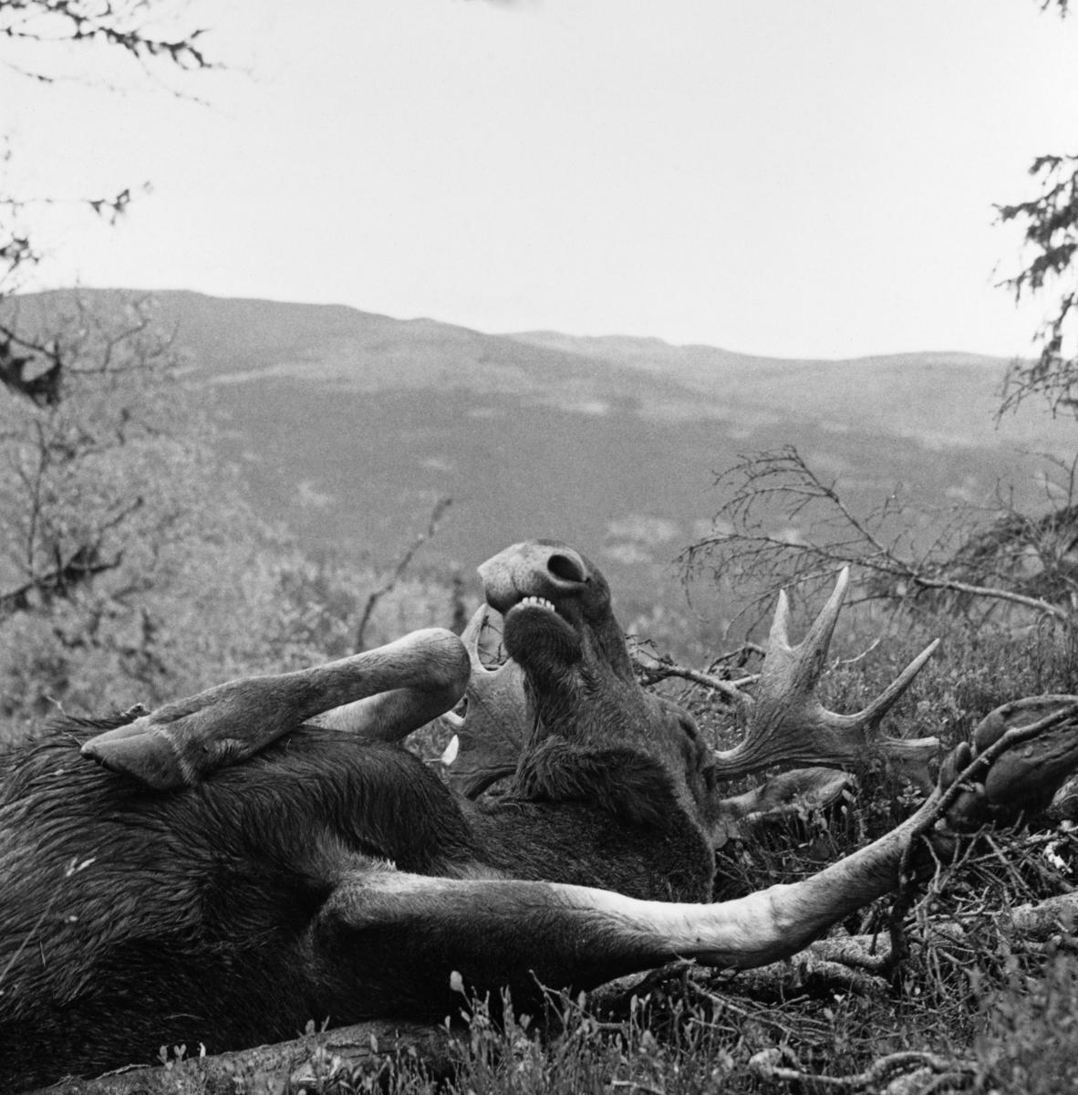 Elgoksen Tore Fossum felte i traktene ved Rognvola i Stor-Elvdal 29. september 1963.  Vi ser den fremre delen av elgen, som ligger på ryggen med sprikende bein og med mulepartiet i været.  Elgen viste seg å veie 234, 5 kilo. Elgjakt. Storviltjakt. Storvilt.