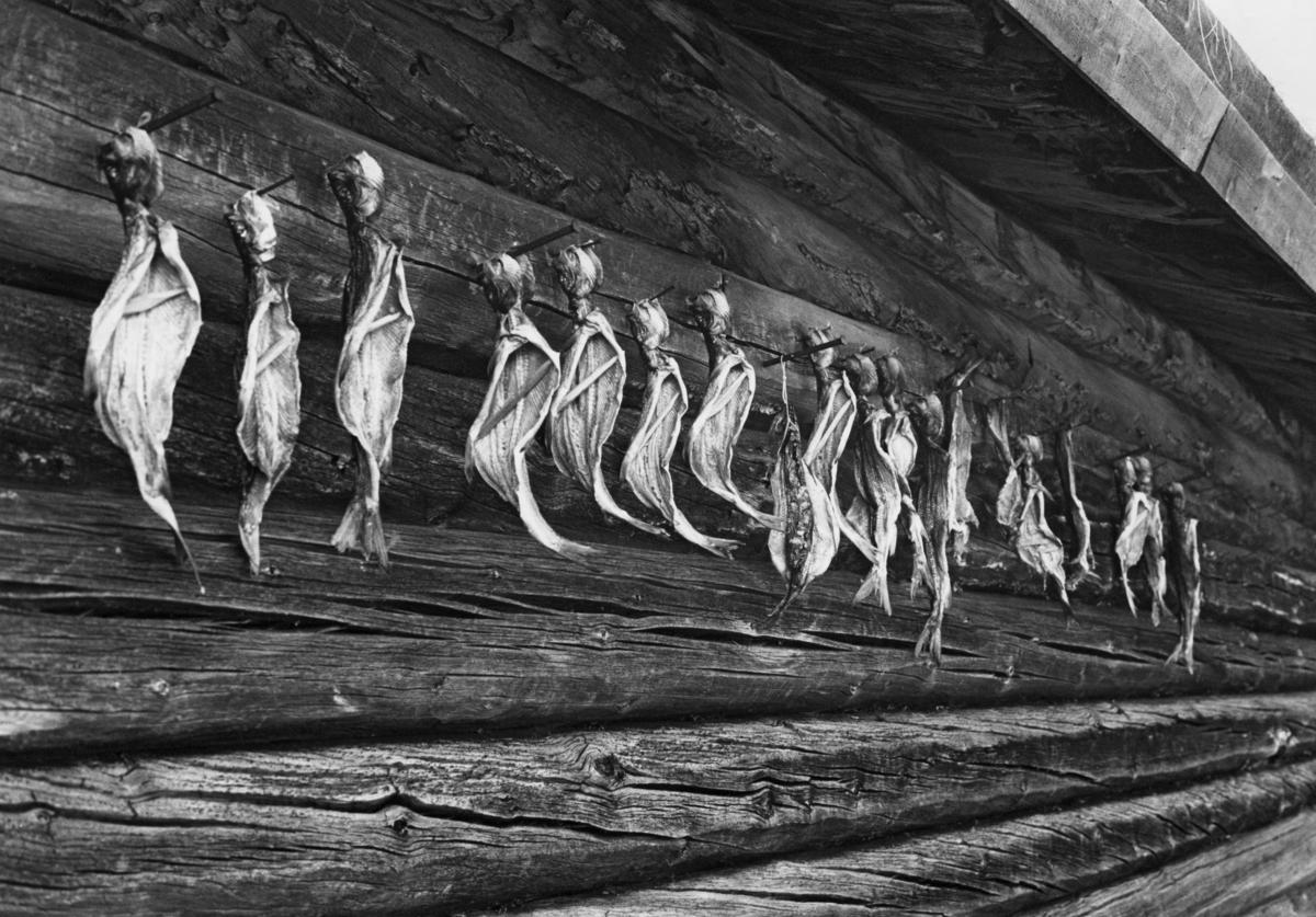 Tørking av harr på naustvegg på Fiskevollen ved Sølensjøen i Øvre Rendalen sommeren 1977.  Fotografiet viser hvordan fiskerne har spikret maget og reingjort fisk med hodene opp og spolene ned på en av veggstokkene.  Tverrspilte pinner i fiskenes mageregion skulle sikre god lufting, og dermed også god tørk.  Tørking var en måte å konservere fisk på, slik at den kunne tas fram igjen og nytes lenge etter at den var fanget.  God tørking forutsatte et værlag som var preget av mye sol og vind, og helst en sesong da insektbestandene var små.  Dette var en årsak til at teknikken helst ble brukt på vårgytende fiskearter.  Denne konserveringsteknikken fortrinnsvis brukt på magre fiskeslag, langs innlandsvassdragene mest på gjedde, abbor og mort.  De feite laksefiskene hadde lett for å harskne ved tørking.  Harr (Thymallus thymallus) er en laksefisk.  I Rendalen har imidlertid denne fiskearten tradisjonelt vært holdt for å være en dårligere matfisk enn ørret, røye og sik.  Den harren vi ser her ble derfor konservert med sikte på at den skulle brukes som hundemat, og da var ikke harskhet like problematisk som når fisken skulle serveres til mennesker.