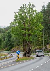 Eiketre på fylkesveg 49, som går mellom Norheimsund i Hardan