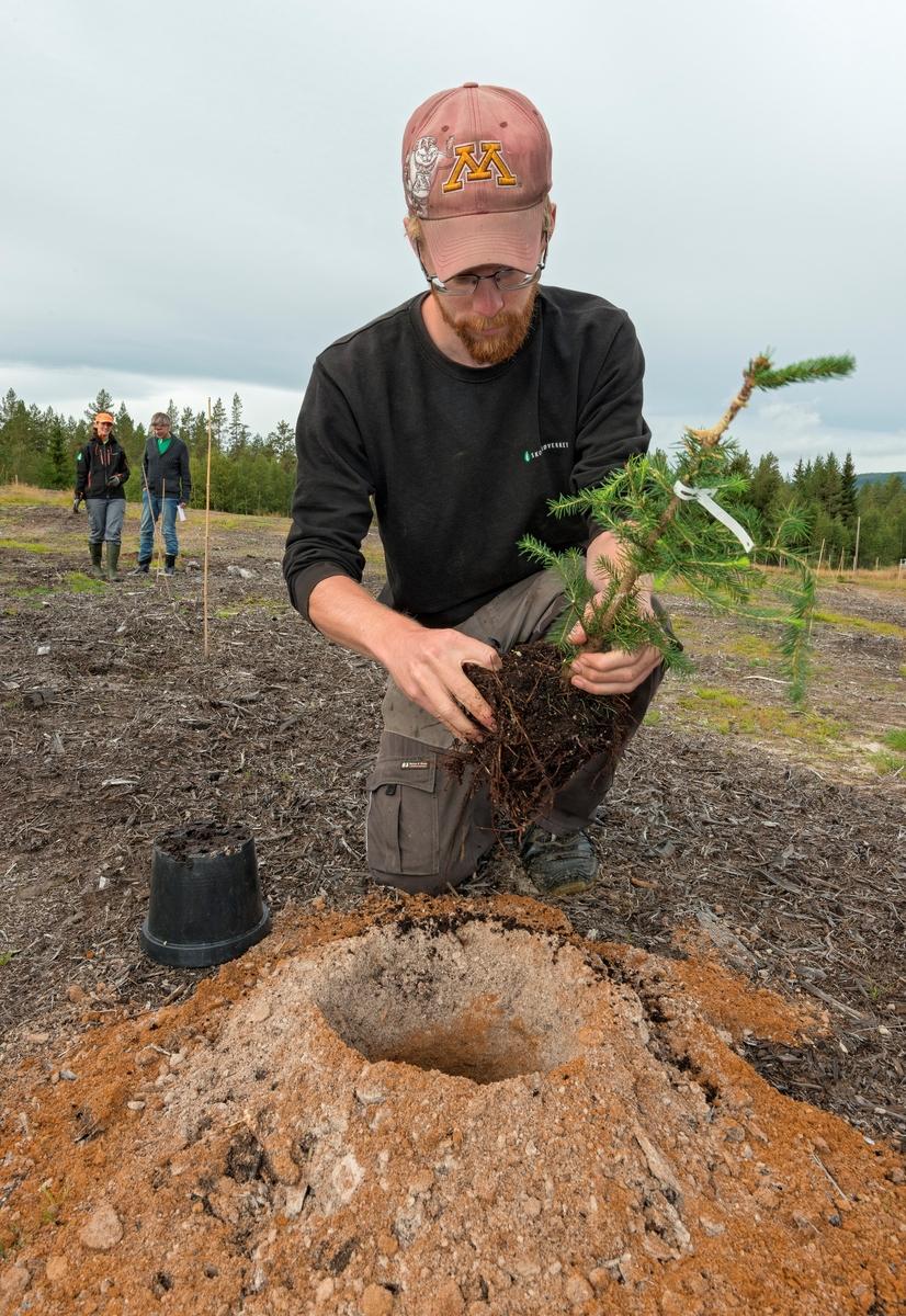 Plantearbeid i skogfrøplantasjen i Julussdalen i Elverum i Hedmark høsten 2016.  I forgrunnen ser vi Håvard Hageberg fra Det norske skogfrøverk, som var klar til å plassere ei granplante i et nyoppboret hull i sandjorda på plantasjefeltet.  Rundt hullet ser vi litt av matjorda som ble drysset i hullene for å gi plantene en god vekststart i det ikke altfor næringsrike jordsmonnet. Som grunnstammer brukte man fireårig gran fra Biri planteskole, som de siste to åra hadde vokst i plastpotter.  På disse plantene hadde Skogfrøverkets medarbeidere podet toppskudd, hentet fra avkomtestete grantrær fra de eldre frøplantasjene på Oppsal i Ringebu kommune i Oppland og Kaupanger i Sogndal kommune i Sogn og Fjordane.  I bakgrunnen til venstre på dette fotografiet skimter vi Hagebergs kollega Marte Friberg Myre i samtale med Bjørn Bækkelund fra Norsk Skogmuseum.