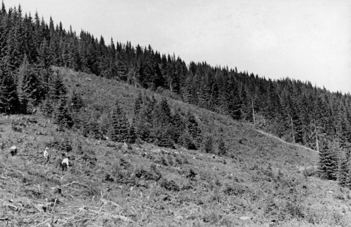 Tilplantet hogstflate i Flottskogen i Elverum, fotografert i 1944.  Her ble det tre sesonger tidligere hogd et areal på om lag 30 dekar, bare litt ungskog ble gjensatt et stykke nede i lia.  Deretter ble feltet inngjerdet og tilplantet med 5-årige granplanter.  Gjerdet skulle sannsynligvis skjerme feltet for beiteskader, fra dyr som befant seg i sætergrenda Flotta i sommersesongen.  Omkring den nevnte snauflata sto det eldre granskog, stedvis avbrutt av mer åpne myrer.  Ei hogstflate på 30 dekar var ikke noe vanlig syn tidlig i 1940-åra.  Denne driftsformen fikk sitt gjennomslag først etter 2. verdenskrig.