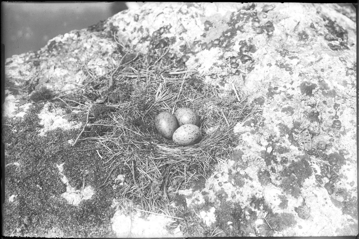 Trutbo med tre ägg.