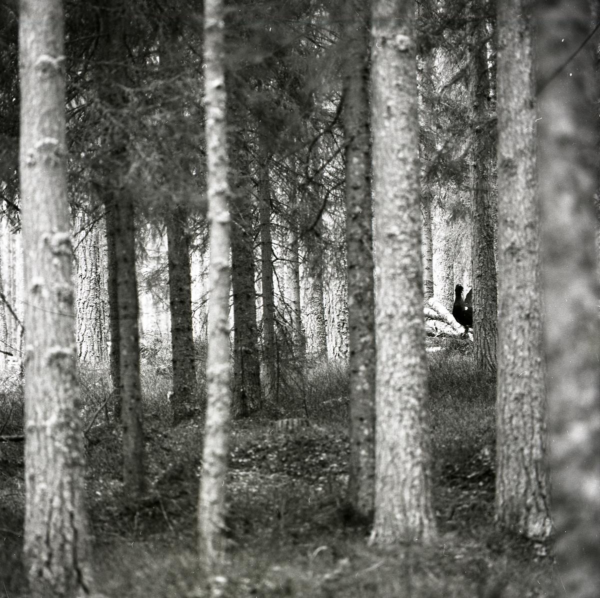 En spelande tjädertupp mellan träden i Häggtjärn den 29 april 1976.
