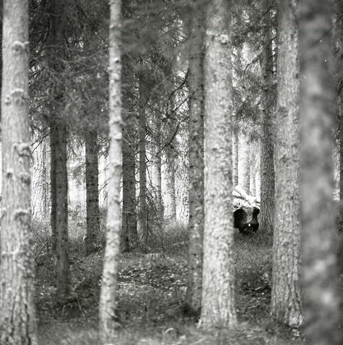 En tjädertupp spelar i skogen vid Häggtjärn den 29 april 1976.