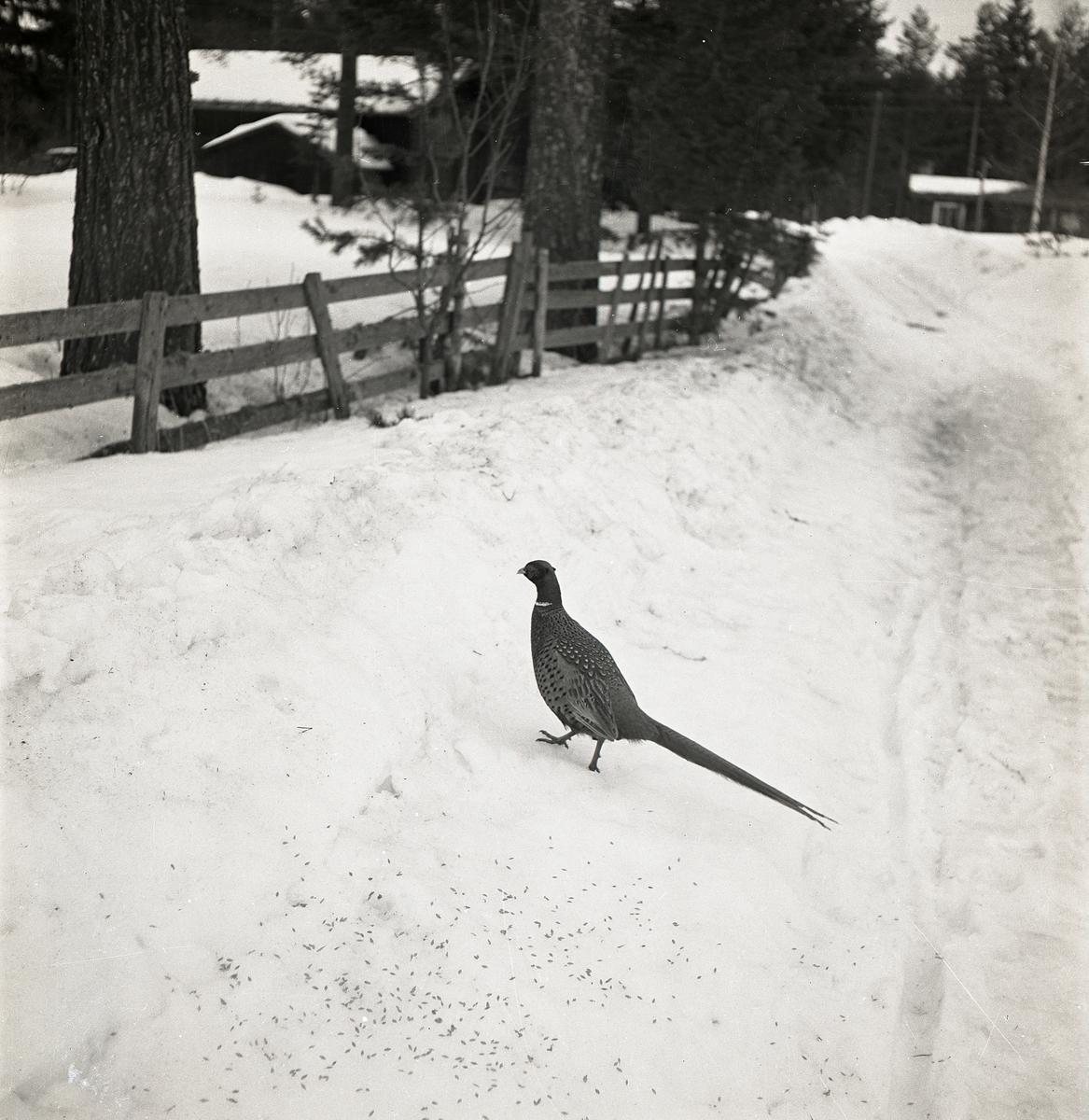 En fasan på vägren i snö, Glösbo 6 april 1951. Frön på marken. Ett staket samt byggnader i bakgrunden.