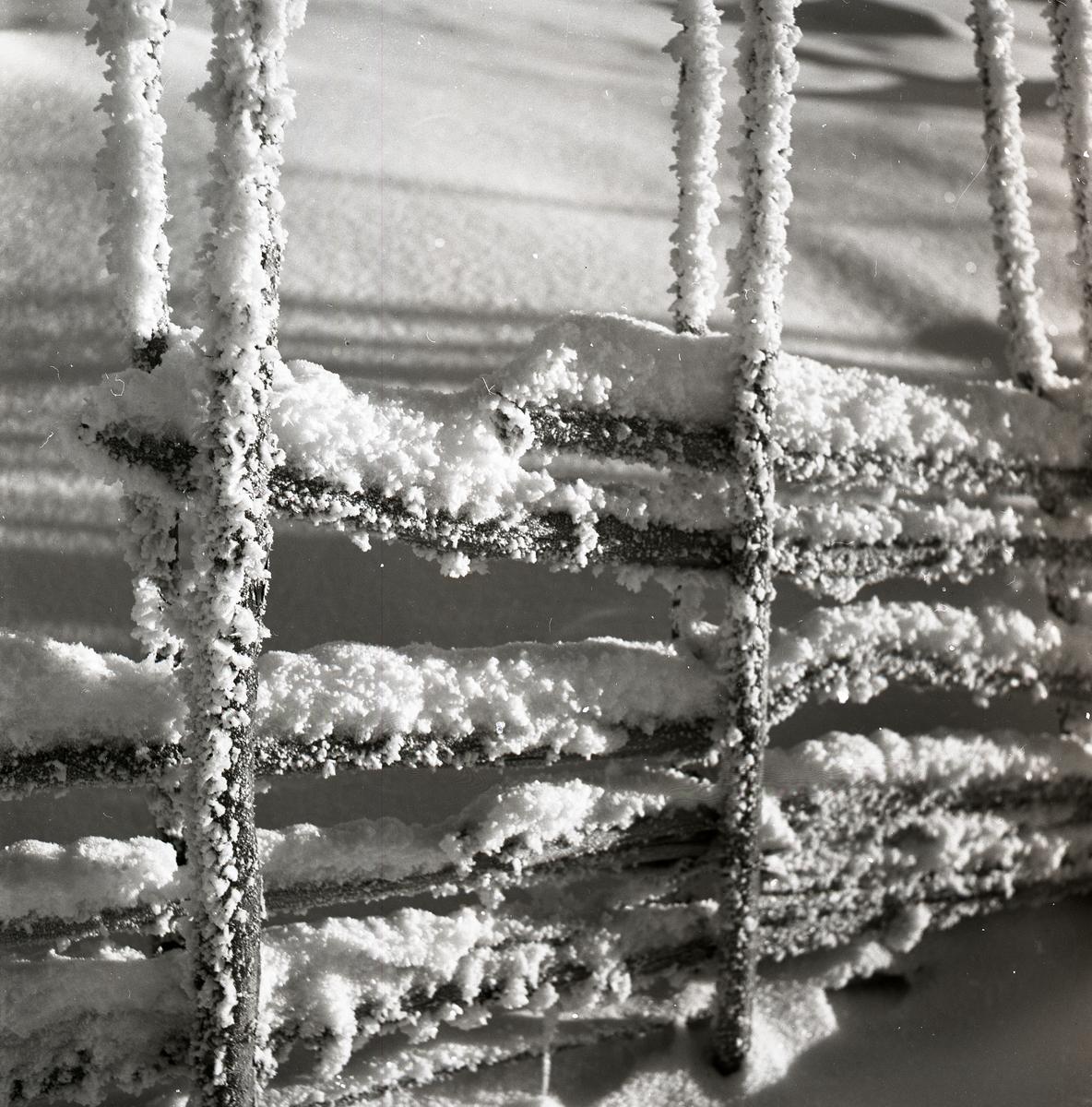 Gärdesgård i rimfrost och snö, januari 1953.