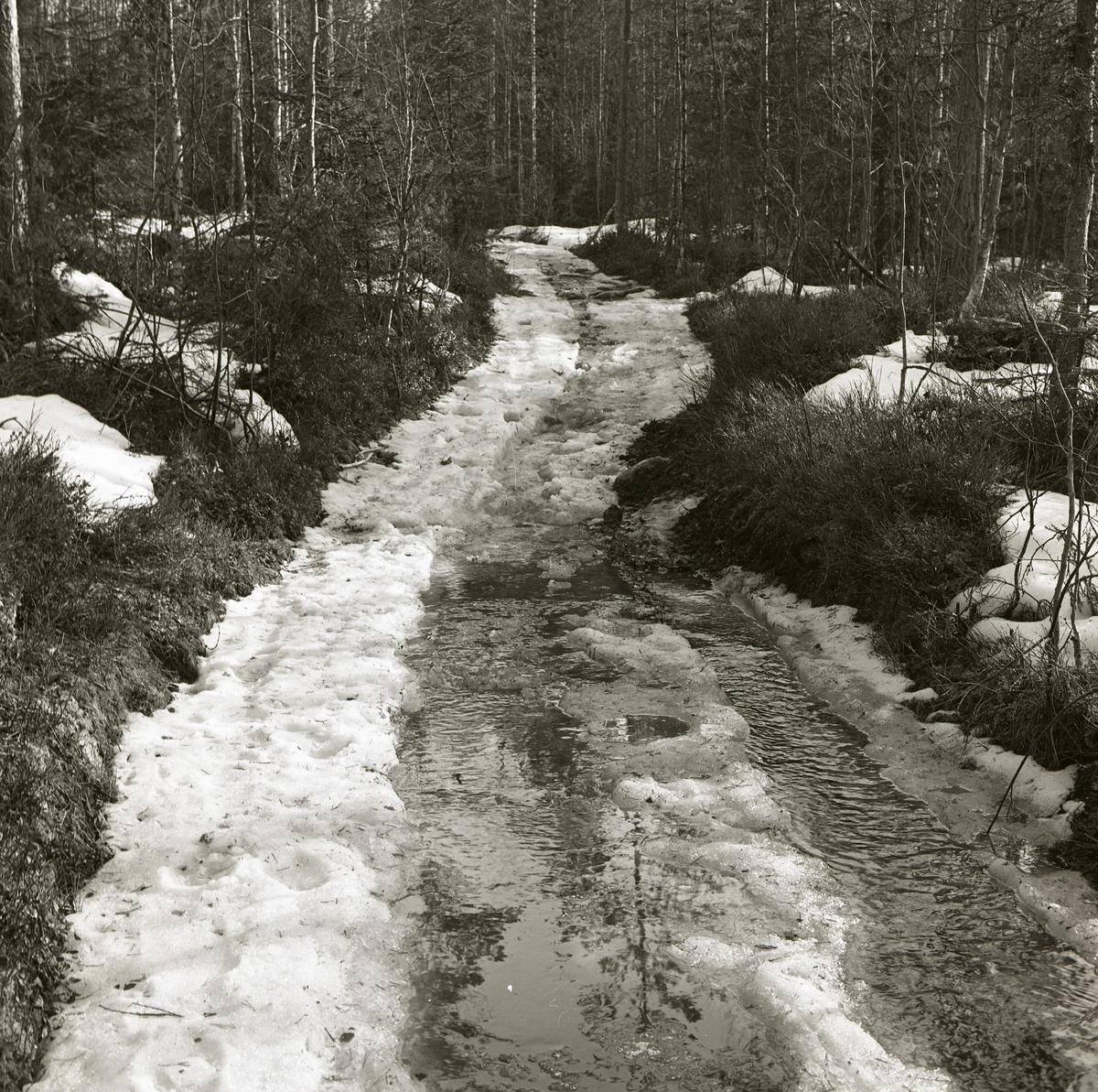 En skogsväg liknar en bäck under snösmältningen i april 1963.