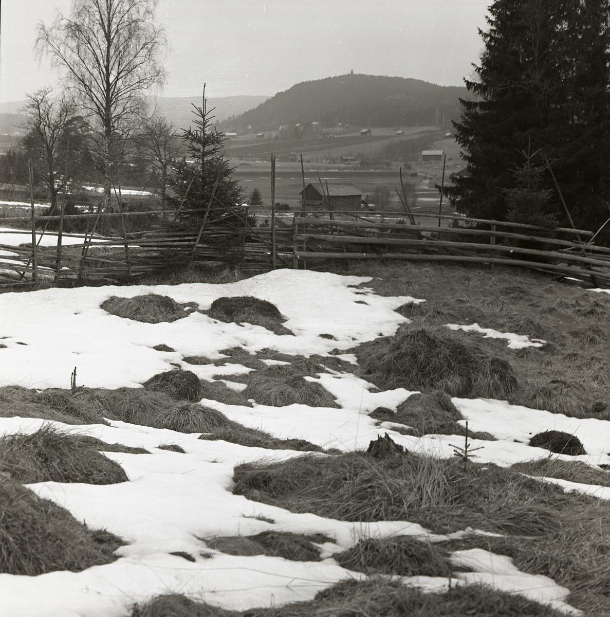 En hage inhängnad av en gärdesgård under snösmältningen, april 1963.