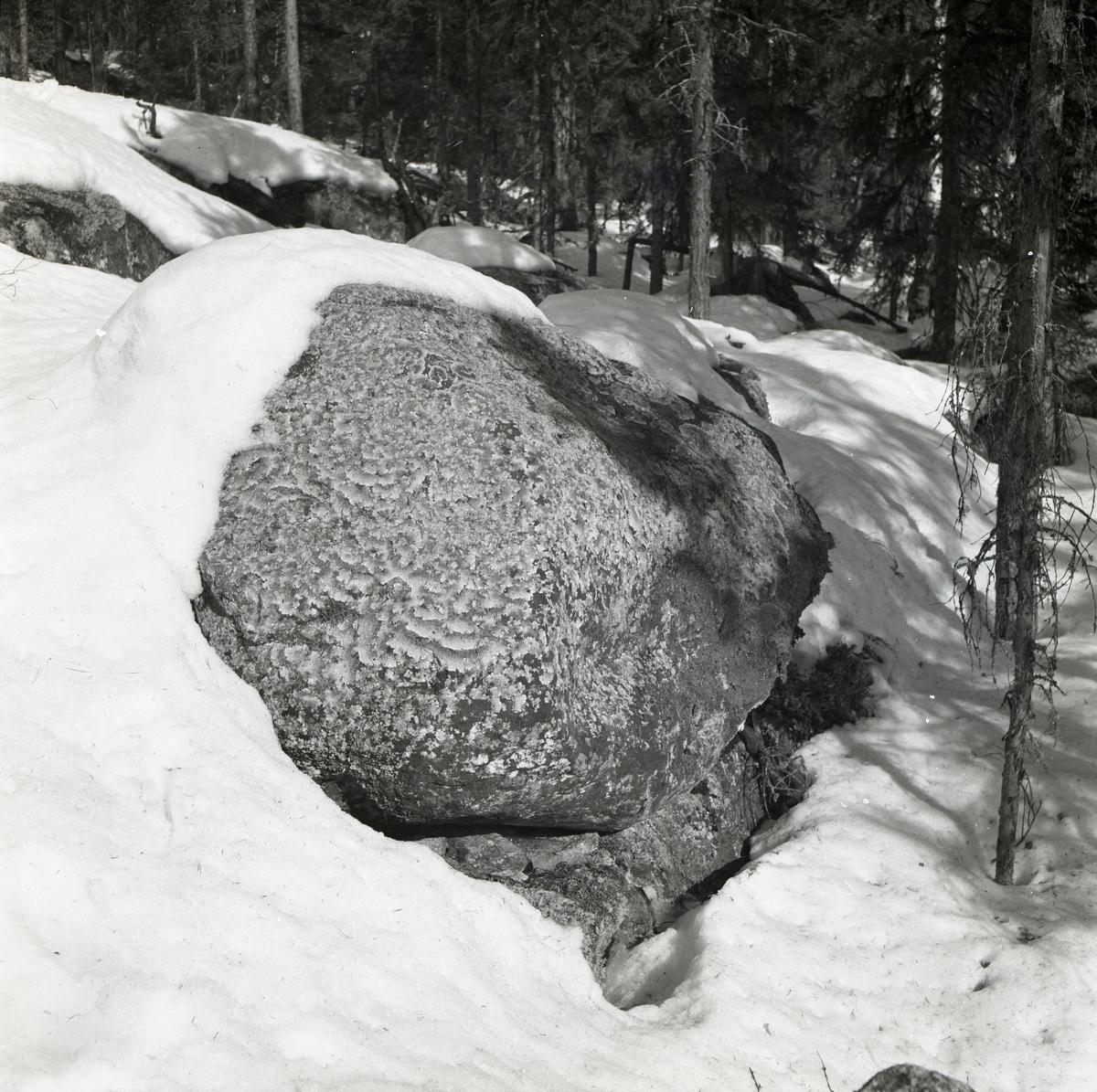 En delvis snöfri sten med plattlavar på Hagberget, vårvintern 1951.