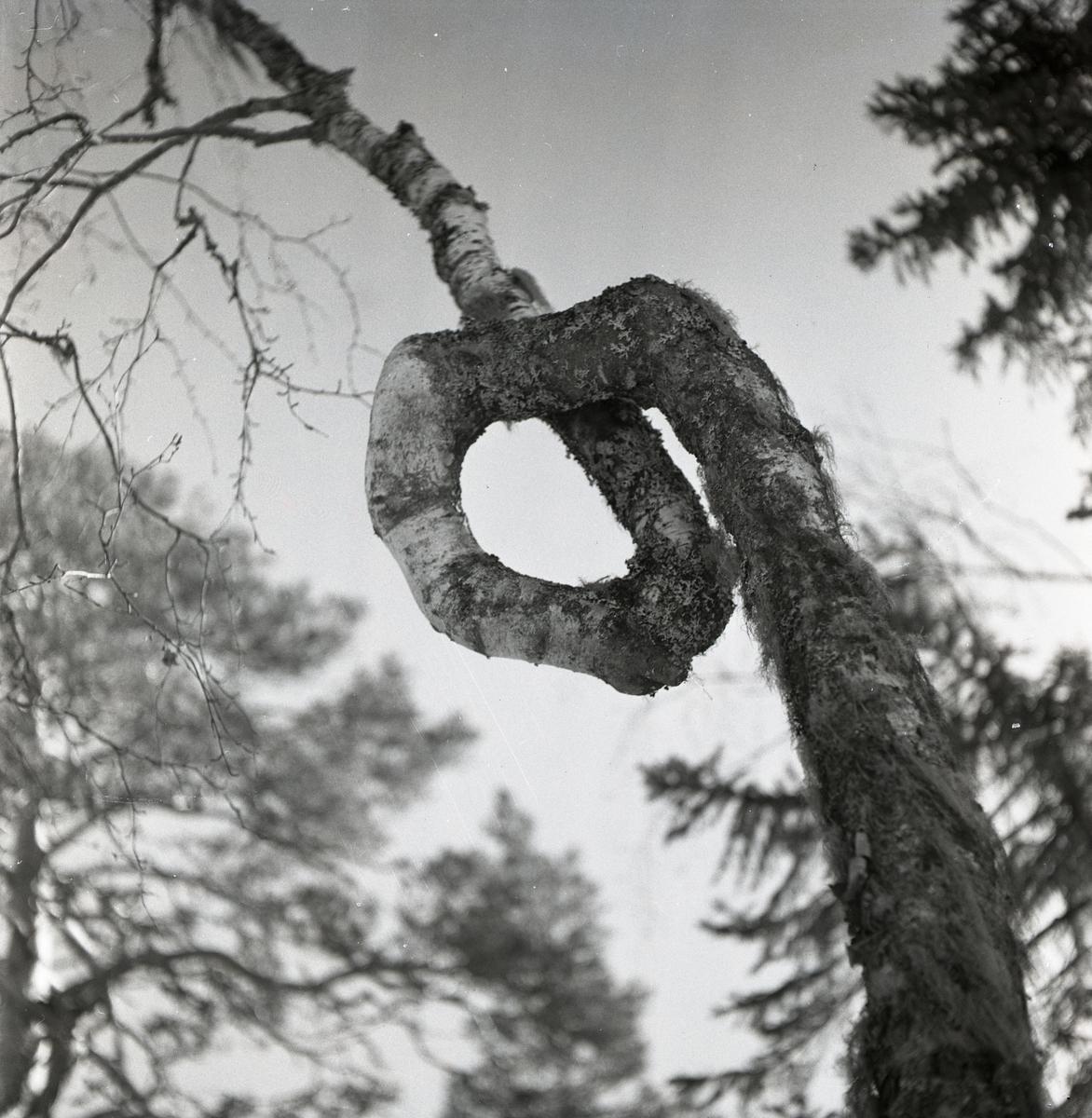 Björk med en svängd form på stammen vid Skogsberget, april 1951.