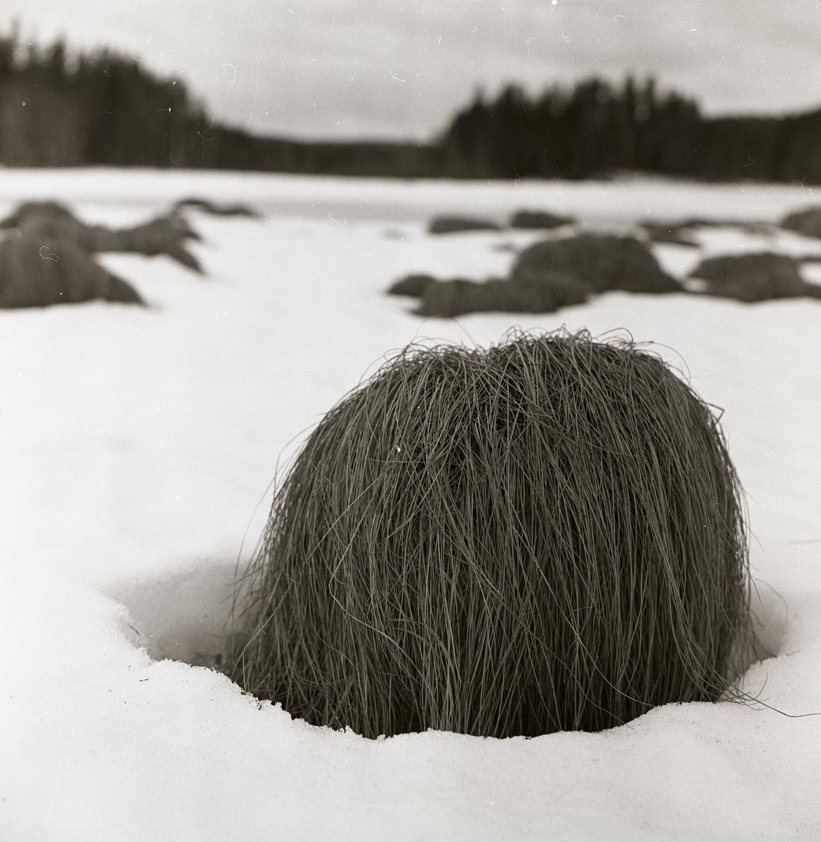 En grästuva med långa, hängande strån i snön.