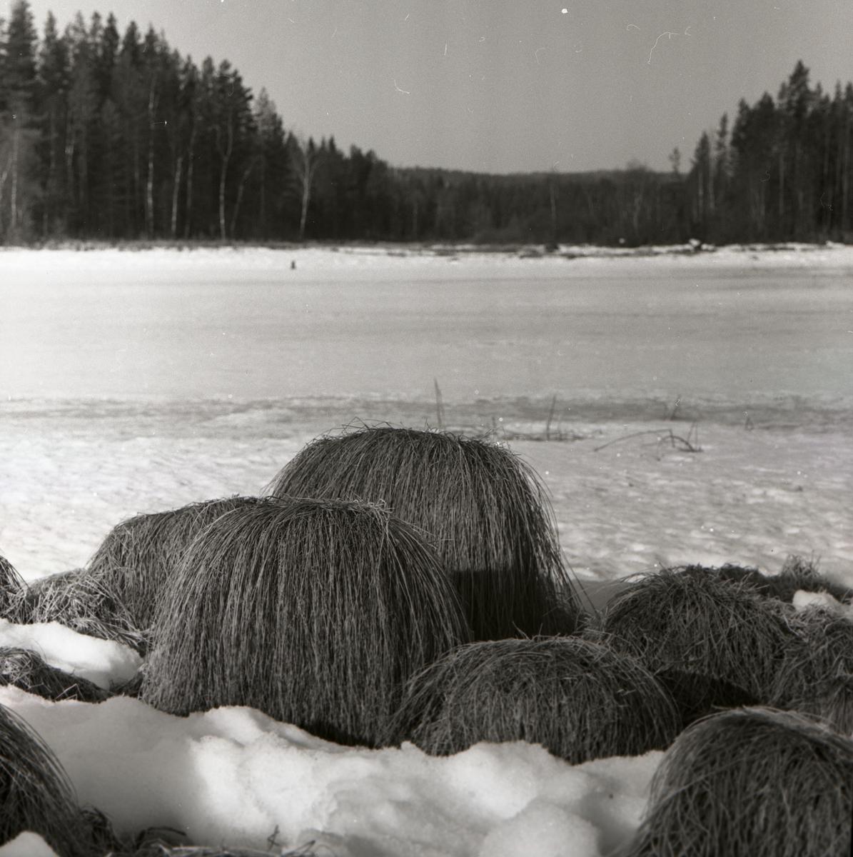 Uppstickande grästuvor på snötäckt mark med skog i bakgrunden.