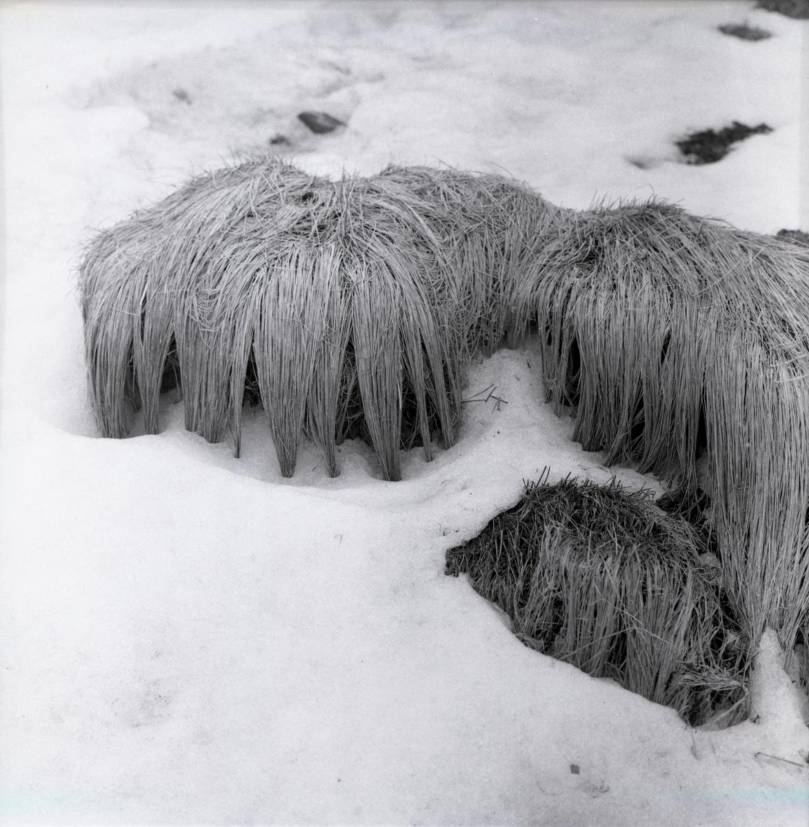 Grästuvor med strån nedkammade av vatten i Kivik, mars 1963.